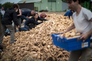 Volunteer gleaners rescuing food that would otherwise go to waste from a farm in the UK