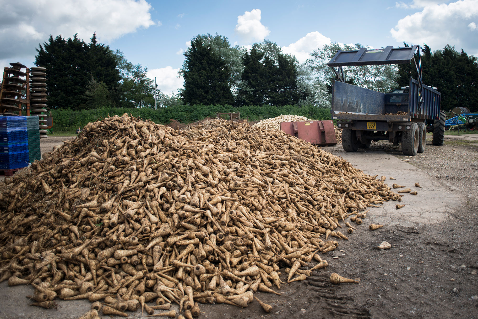 A 2-tonne pile of parsnips that were going to be left to go to waste