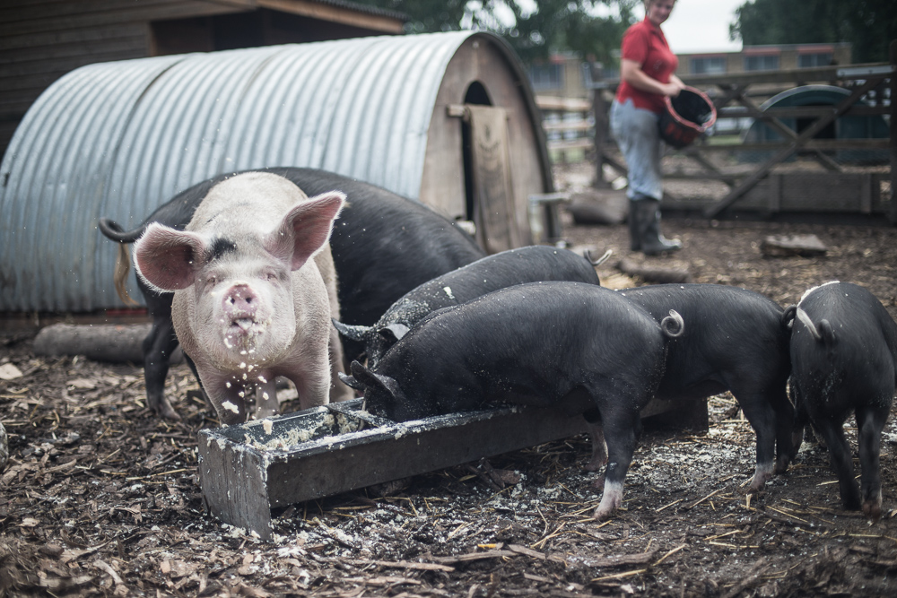 The Pig Idea at Stepney City Farm helping reduce food waste - Photographer Chris King Documenting Food Waste